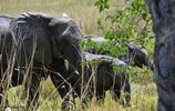 人與大象衝突日益增長!博茨瓦納取消大象狩獵禁令