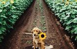 主人喜歡向日葵,離開它後,每一天都在這個路口等待自己的主人