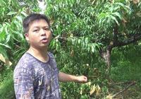 炎陵大學生返鄉種植炎陵黃桃,帶領父老鄉親脫貧致富