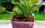 """6種""""吃蚊子""""的盆栽,家裡蚊子多的地方擺上兩盆,蚊子跑很遠"""