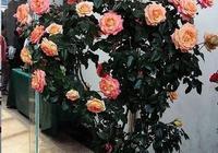 月季咔咔一剪刀,常年開花,不停歇!