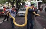 市民在家養4米黃金蟒 不堪重負捐給動物園