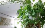 想要綠蘿爬滿牆?學會這三個竅門,半個月長一米!