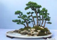 鬆道——松林盆景
