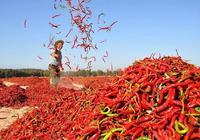 紅紅火火四百年,辣椒如何征服中國人的味蕾?