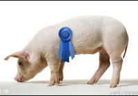 2017年養豬補貼政策,農村養豬補貼政策,養豬政策,養豬有補貼嗎