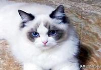 布偶貓的價格昂貴,離不開這6個原因,難怪養不起!