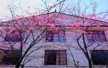 這裡的櫻花,可與武大的櫻花相媲美,遊人如織!