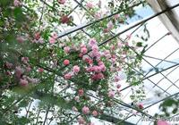 """都說""""最美人間四月天"""",應該就是月季開花的模樣吧!"""