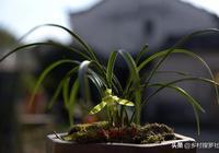 如何把蘭花葉片養得油綠好看?這種元素最容易被忽視
