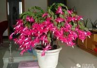 花開滿盆的蟹爪蘭