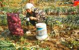 農村老人打工挖洋蔥,為省時間多掙錢不回家吃飯,四歲娃田裡送飯