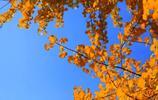 金秋的銀杏之鄉——安陸銀杏