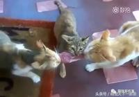 年度大戲!三隻貓咪搶一塊肉!真·三國無雙!