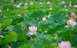 惠州西湖荷花攝影~實在太美麗了