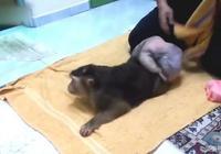 主人給猴子擦屁屁,病態的屁屁讓猴子更受疼愛!
