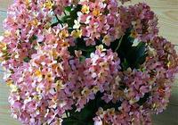 長壽花能四季開花嗎?如何養護?