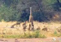 長頸鹿走投無路,被獅群團團圍住