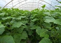 農村菜園種植的黃瓜長到頂之後,該怎麼管理呢,老農說可以這樣