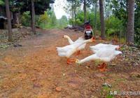 """農村的大鵝明明是家禽,為何農民說它是""""家畜""""?"""