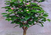 月季、茶花、三角梅不用買,1根枝條插盆裡,年底就開花,很實用