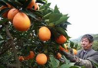 湖南橙子、四川橙子和贛南臍橙,它們有什麼區別?