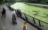 """綠藻瘋長,市區河道被蓋上""""綠毯"""""""