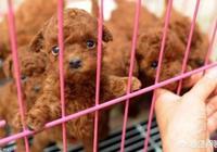怎麼知道泰迪犬是不是純種的呢?