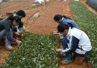 規模化黃花梨繁殖方法 黃花梨怎樣育苗