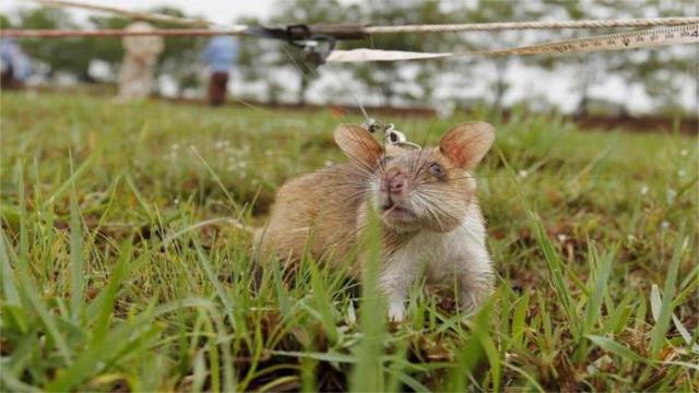 世界上有一種老鼠,冒著生命危險保護人類,值得我們尊敬它!