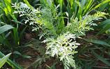 農村5種常見小草,其貌不揚,卻能吃能治病,見了別忘採些喲