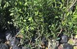 現不流行發財樹了!現興這幾種特好養的懶人盆栽,下面給大家瞧瞧