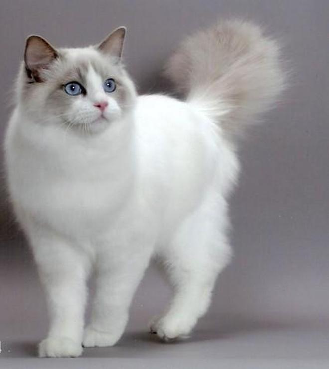 布偶貓你對它瞭解嗎?