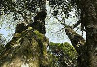 中國最珍貴的樹,全球獨此一棵,你見過嗎?