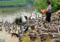 農村養鵝成為新興產業,鵝價高效益好,但是農村養鵝為什麼不賺錢