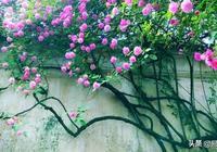 山木香和野薔薇的辨識區別