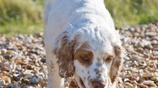 大家會喜歡這種高貴溫和,犬中的思考者的克倫伯嗎?