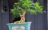 發財樹又養死了?發現這幾種特好養的懶人盆栽,下面給大家晒一晒