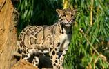 貓:雲豹,屬於哺乳類的貓科動物,只分佈於亞洲的東南部!