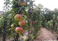 柱狀蘋果——革命性的蘋果栽培模式