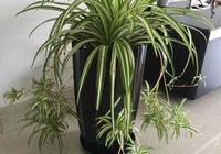 吊蘭長得慢,只用一個小技巧,葉片蹭蹭長爆盆,抽穗多又開花!