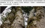 世界第一茗茶:雲南普洱