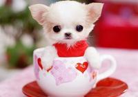 超可愛狗狗卻短命,茶杯犬一身疾病很燒錢,太小還容易被踩死