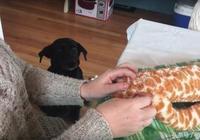 狗狗超有耐心等媽媽修理玩具的可愛模樣,讓看的人都融化