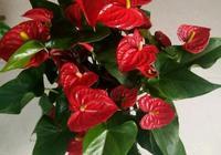 紅掌養護 只要學會這4大祕訣 一年四季花開不斷 有多少葉開多少花