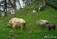來自秦嶺的傳奇生靈——秦嶺羚牛