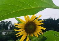 美麗的向日葵