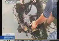 鹽城漁民誤捕130斤綠海龜 警民合力放歸大海