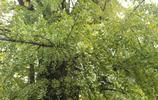 西安千年古銀杏樹成網紅,這麼美的銀杏樹你見過嗎?