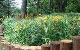 萱草,是萱草科萱草屬植物,多年生宿根草本,具短根狀莖和粗壯的紡錘形肉質根